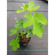 Figovník jedlý (Ficus carica, ´Brown Turkey´) -17 C, výška: 35-50 cm