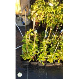 Schizandra Čínska ´Schisandra Chinensis´ (liana) 20-30 cm; kont. 1L