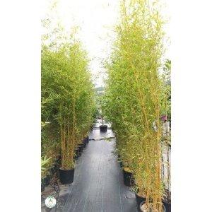 Bambus Phyllostachys bissetii, výška 200-230 cm