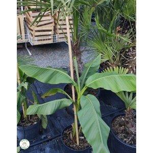 "Banánovník ""Musa Basjoo"" -20°C, výška 50-70 cm"