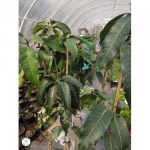 """Mango """"KENT"""" - výška 115-170 cm"""