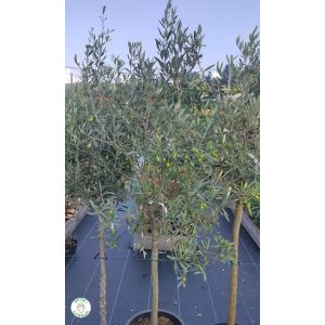 Olivovník európsky (Olea europaea), výška 140-170 cm, kont. C15L