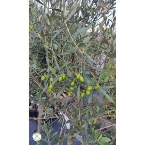 Olivovník európsky (Olea europaea), výška 130-160 cm, kont. C10L