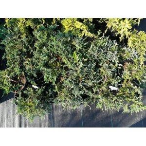 Borievka rozprestretá ´PRINCE OF WALES´ - priemer rastliny 30-40cm