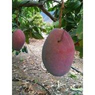 """Mango """"OSTEEN"""", výška 80-100 cm"""