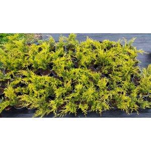Borievka prostredná ´MORDIGAN GOLD´ - priemer rastliny 30-50cm, kont. C2L
