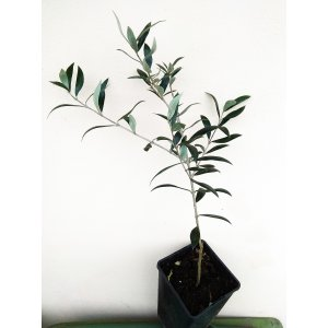 Oliva európska (Olea Europaea), výška 40-70 cm, kont. C1,5L