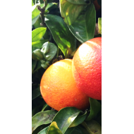 Pomarančovník červený ´SANGUINELLI IVIA´ (80-100 cm)