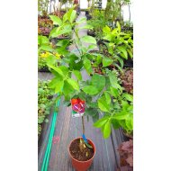 Pomarančovník (100-130 cm)´WASHINGTON FOYOS´