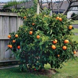Pomarančovníky