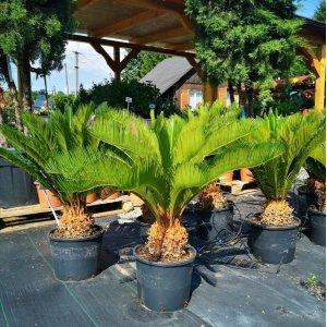 Cykas japonský (Cycas Revoluta), výška: 60-70 cm, výška kmeňa: 10-15 cm