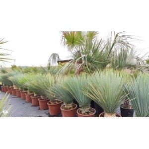 Yucca Rostrata (-22°C), výška: 60-80 cm