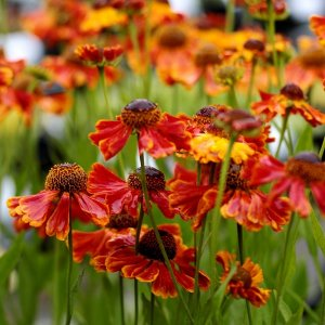 "Helénium - Helenium ""Short and Sassy"""