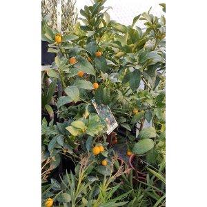 "Kumquat (120-150 cm) odroda ""FORTUNELLA MARGARITA"""