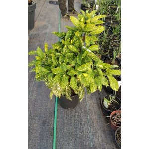 "Aukuba japonská ""Crotonifolia Gold"""