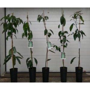 Avokádo (Persea americana), výška: 100 - 120 cm