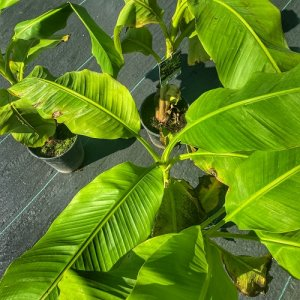 Banánovník ´Musa Basjoo Sakhalin´